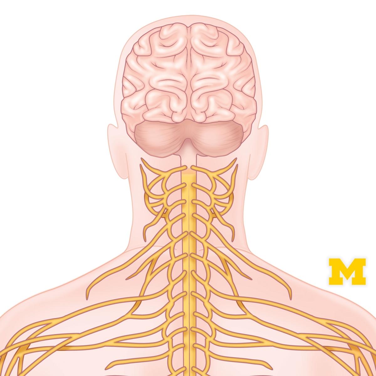Free Online Course Anatomy Human Neuroanatomy From Coursera